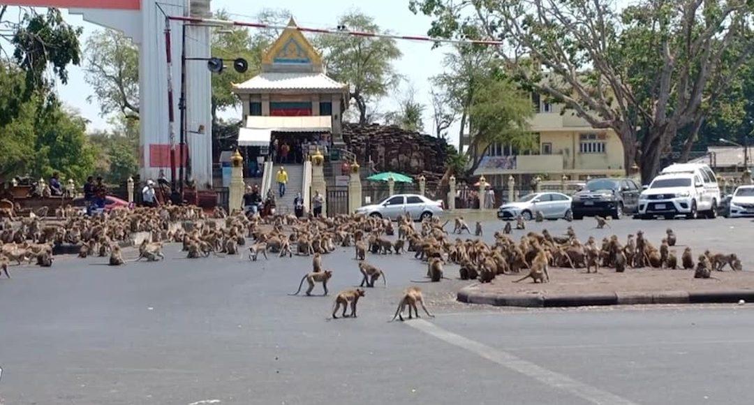 Coronavirus deja sin comer a monos en Tailandia (Vídeo)