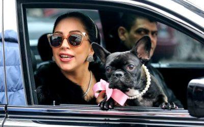 ¡DELINCUENCIA CANINA! Le robaron los bulldogs a Lady Gaga después que un hombre dispara a su paseador