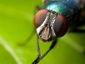 ¡APRENDE A DIFERENCIAR! ¿Cuáles son los tipos de moscas que existen?