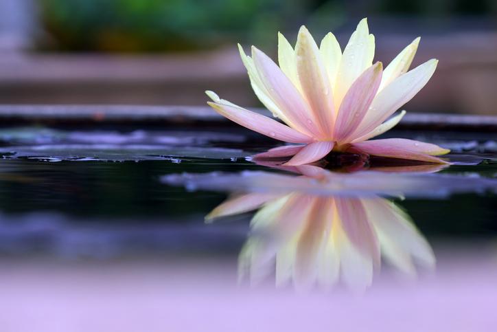 ¡CONOCE! ¿Cuál es el significado de la flor de loto?