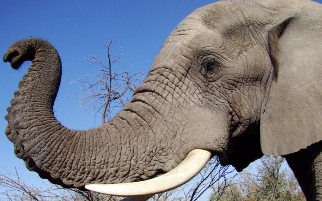 ¡SORPRENDENTES! Curiosidades que debes saber en el Día Mundial del Elefante