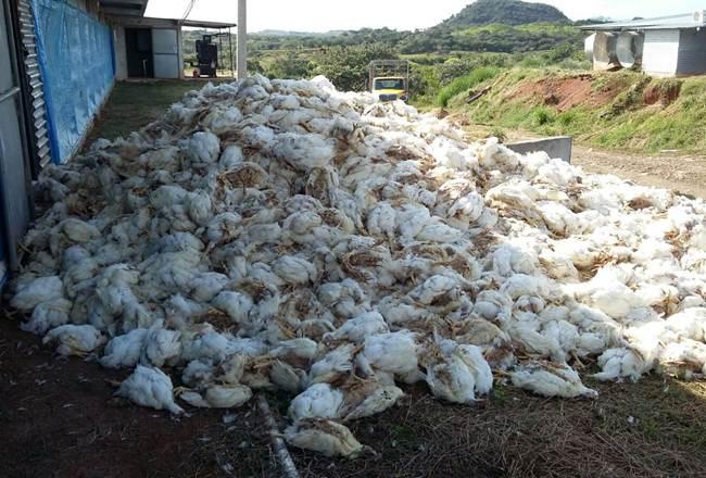 ¡IMPORTANTE PÉRDIDA! 59 mil pollos murieron por «golpe de calor» en una granja de Panamá Oeste